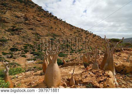 Endemic Plant Bottle Tree Adenium Obesum On The Island Socotra, Diksam Plateau, Yemen