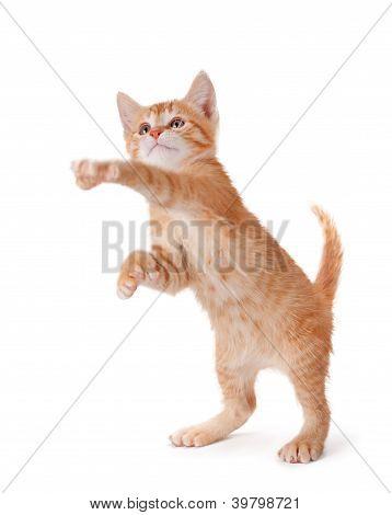 Orange kitten standing and playing on white.
