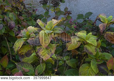 Withered Leaves In Autumn