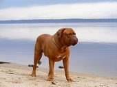 French mastiff standing at the lake coast poster