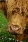 Close-up portrait of a typical scottish bull face poster