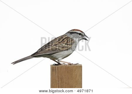 Isolated Sparrow On A Post