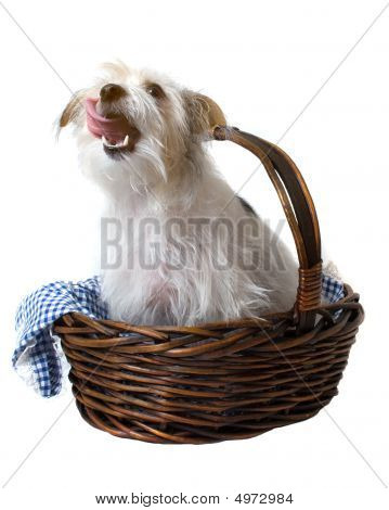 Hungry dog licking with tongue out in basket over white background poster