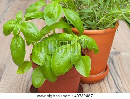 Potted Herbs - Basil And Rosemary