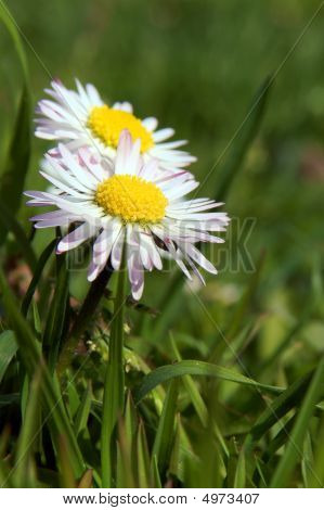 Close-up of daisy flower growing in green grass. poster
