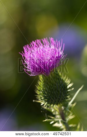 Milk thistle in all its glory , close up