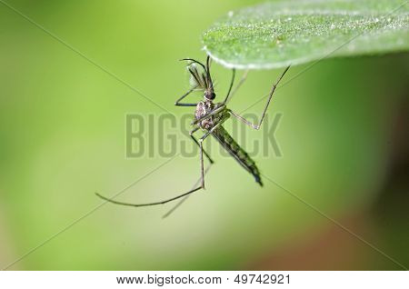 A male mosquito