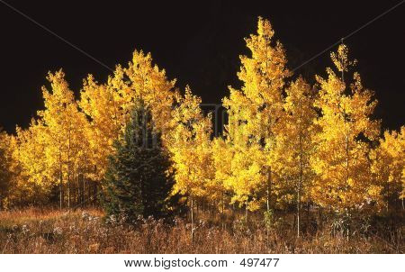Conifer & Aspen Trees