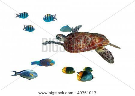 Green turtle and tropical fishes isolated over white poster