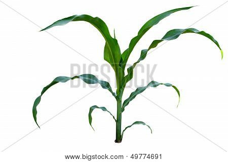 Isolated Image Of A Young Corn Stalks