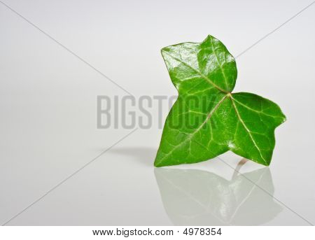 Ivory Leaf