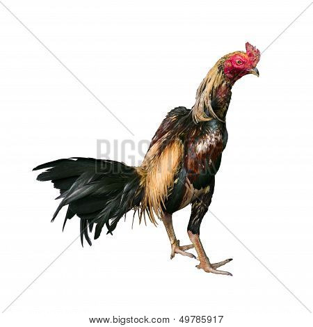 Thai Fighting Cock Turn Right On White Background