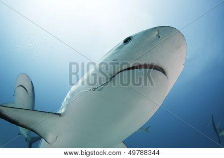 Caribbean Reef Shark with Hook