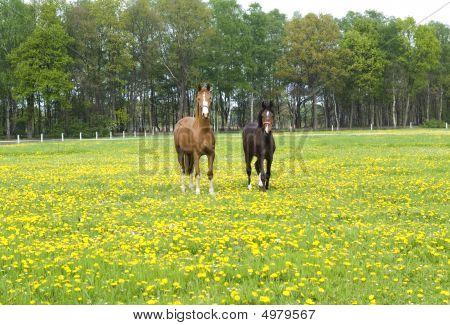 Two Beautiful Horses.