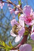 A bee busy drinking nectar from the peach flower poster