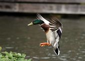 A male Mallard Duck coming into land poster