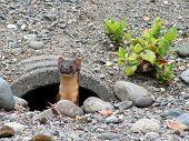 A Long-tailed Weasel in a Drainpipe in Western Washington poster