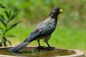 A Western Grey Plantain-Eater perched on a bird bath poster