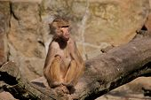Female hamadryas baboon sitting comfortably in the sun poster