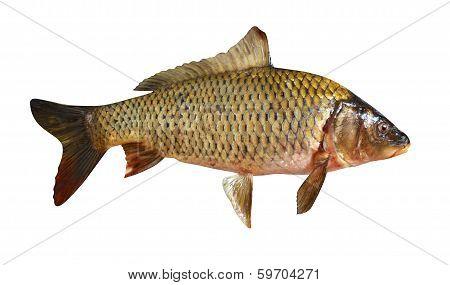 carp fish isolated