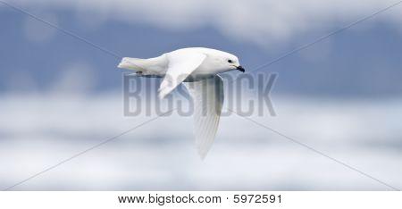 Schneesturmvogel im Flug