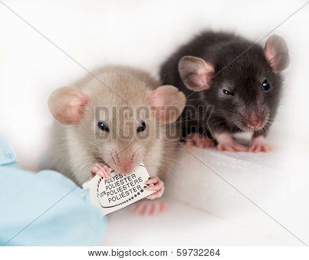 Little rats
