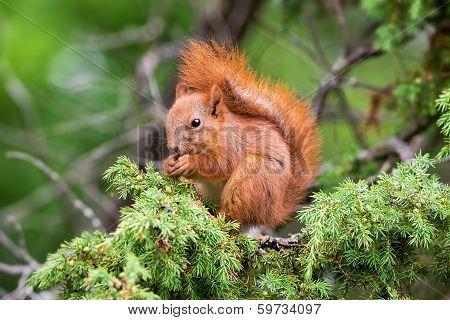 Red Squirrel Sitting In A Juniper Tree