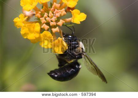 Bee On Lantana 9182