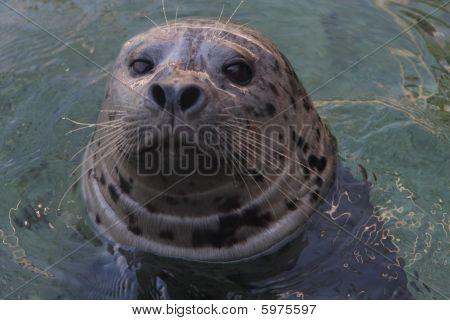 Seal looking at you