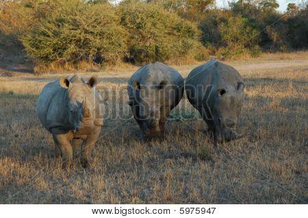 African rhinos