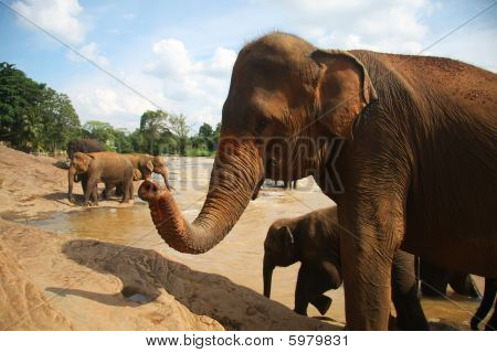 Elephant raises his trunk with anteverted nostrils , many elephants are  behind him at the bank of river poster