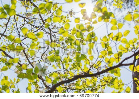White flowering dogwood (Cornus florida) in bloom