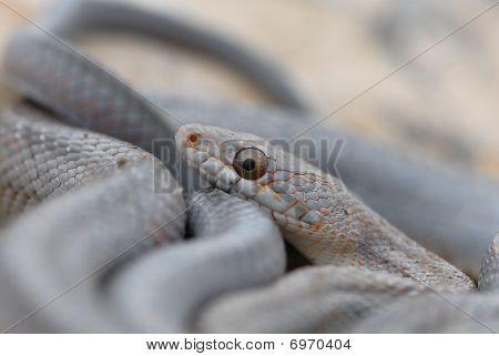 West Texas Snakes