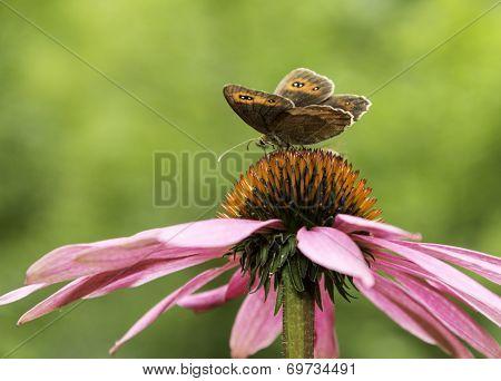 Gatekeeper butterfly on top of a cone-flower
