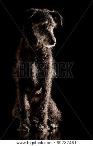 Portrait Of A Grey Wire Haired Terrier Dog