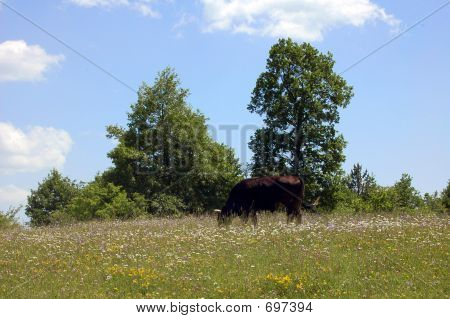 Black cow in pasture poster