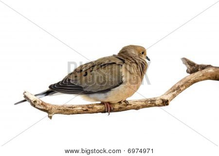 Windblown Mourning Dove