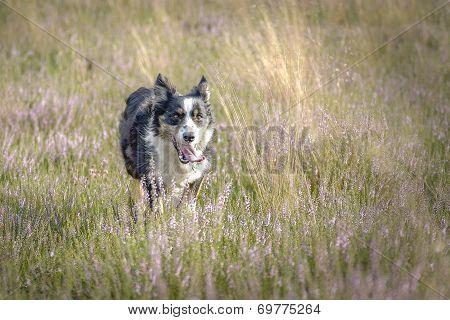 Australian Shepherd bei der Arbeit
