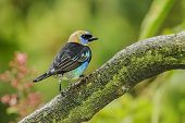 Golden-hooded Tanager perched on a large branch photographed in Costa Rica. poster