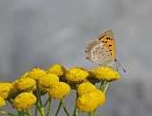 Small Copper Lycaena phlaeas on tansy Tanacetum vulgare in Archipelago national park in Finland. poster