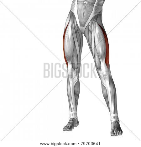 Concept or conceptual 3D human legs or vastus lateralis anatomy or anatomical and muscle isolated on white background.