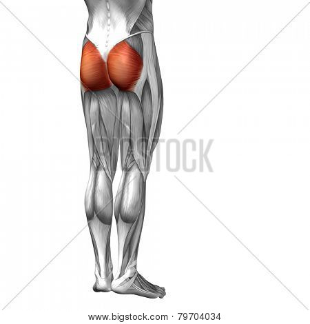 Concept or conceptual 3D human legs or gluteus maximus anatomy or anatomical and muscle isolated on white background.