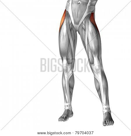 Concept or conceptual 3D human legs or tensor fasciae latae anatomy or anatomical and muscle isolated on white background.
