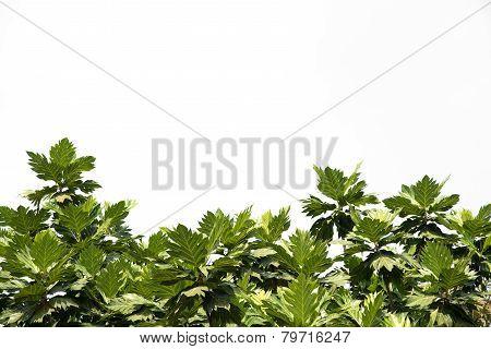 Breadfruit Leaf