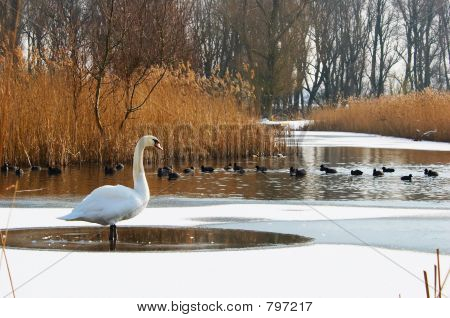 Swan in a winter landscape