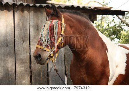 Latvian skewbald draught horse portrait in summer poster