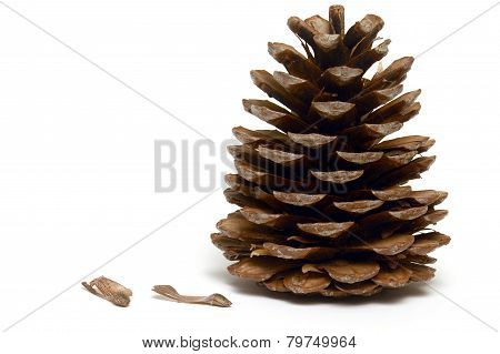 The pine cone with seeds