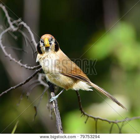 Beautiful Parrotbill bird, Spot-breasted Parrotbill (Paradoxornis guttaticollis), standing on a bran