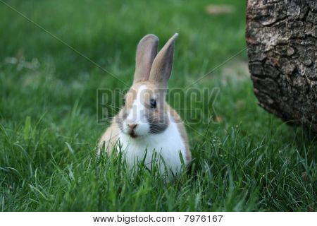Bunny chewing on grass