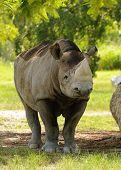 Wild rhino in the African savanna habitat poster